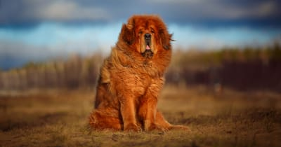 Tibet Dogge