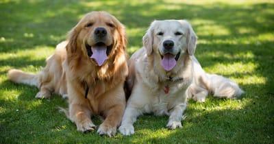 Zwei Golden Retriever im Gras