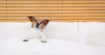 Hund liegt chladfebd im Hotelbett