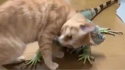 iguana abrazando gato