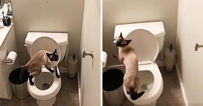 gato siames jugando inodoro