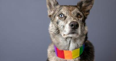 perro collar bandera gay