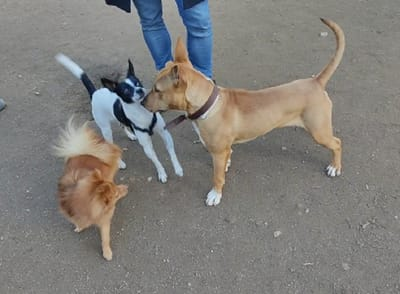 cruce bull terrier juega frente a otros dos perros