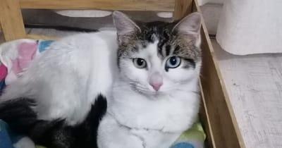 gato blanco y marron de ojos azul y verde tumbado en una manta