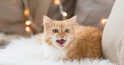 gato amarillo maullando