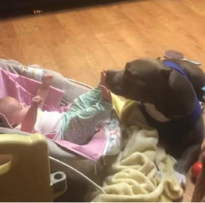 pitbull lame el pie de un bebe