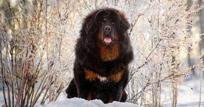 mastin tibetano en la nieve