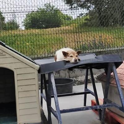 adopcion perla perro galicia