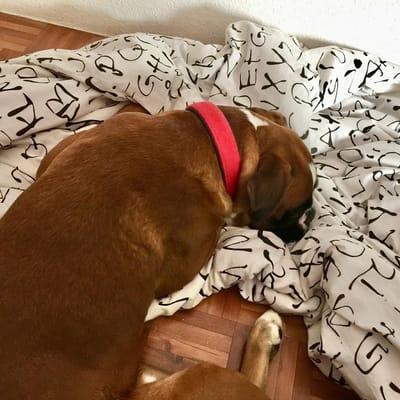 perro boxer con la cabeza apoyada en un edredon