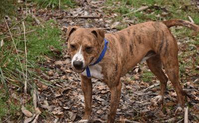 perro de color marron atigrado en el campo