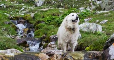 perro montaña de los pirineros cerca de un río