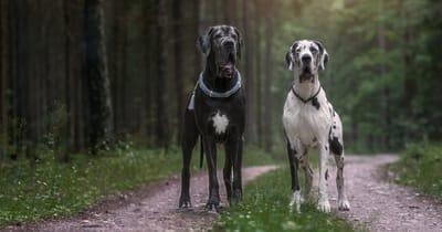 dos perros de raza gran danes en el bosque