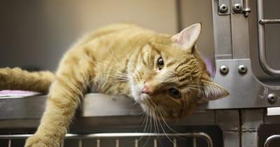 gato naranja rayado