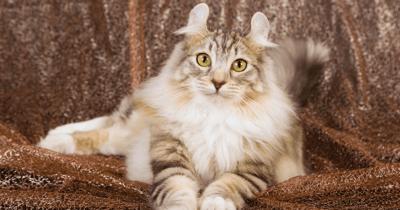 gatos pequeños curl americano