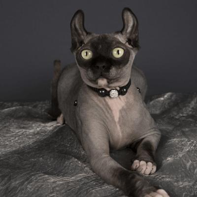 gatos pequeños dwelf