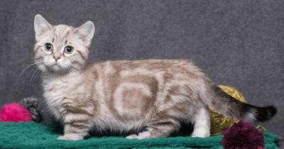 gatos pequeños munchkin