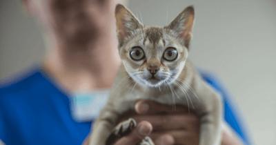 gatos pequeños singapura