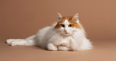 gatos pequeños van turco