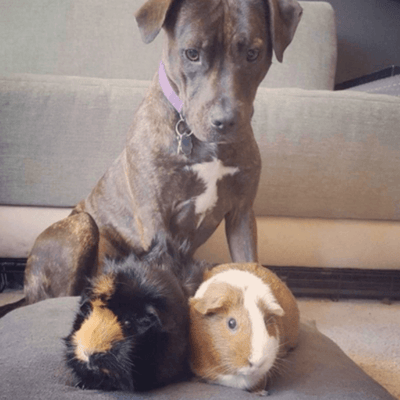 pitbull y cuyos