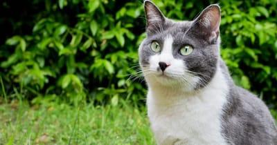 gato blanco y gris