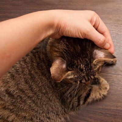 gato zona sin pelo