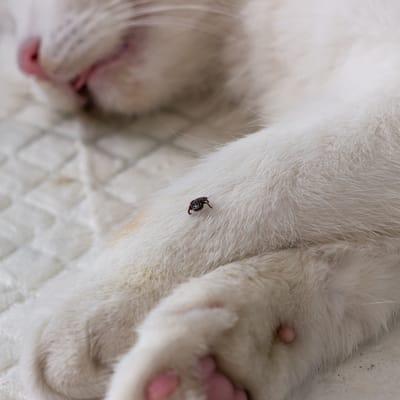 gato con garrapata
