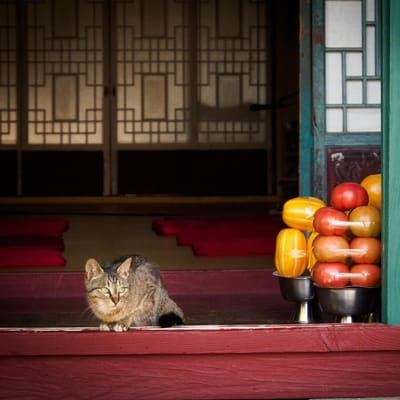 gato corea
