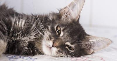 gato gris enfermo cansado