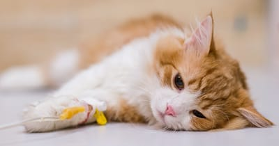 gatito con leucemia