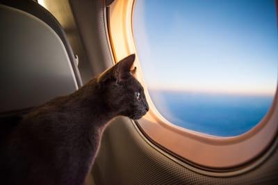 Gato en avión