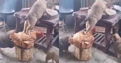 perro gallina