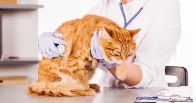 chequeo veterinario gato