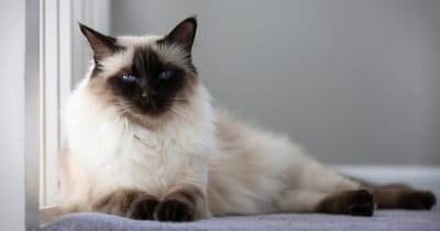 gato balinés