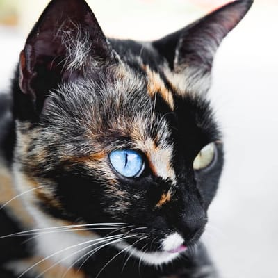 gata calico heterocromia