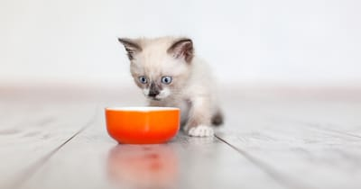 gatito come croquetas