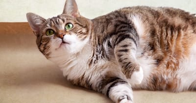 gato gordo acostado