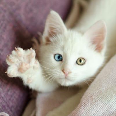 gato ojos diferente color