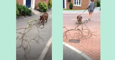perro trae rama