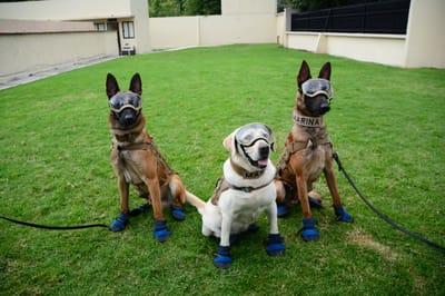 Estos hermanos caninos siguen activos en la Marina. Foto: SEGOB