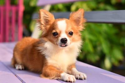 perro chihuahueno