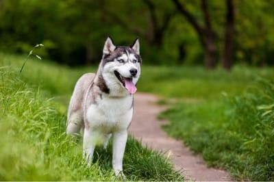husky perro