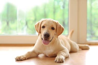 labrador perro
