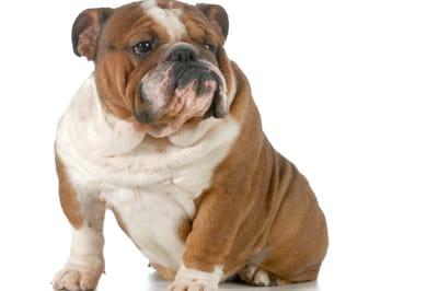 bulldog ingles perro