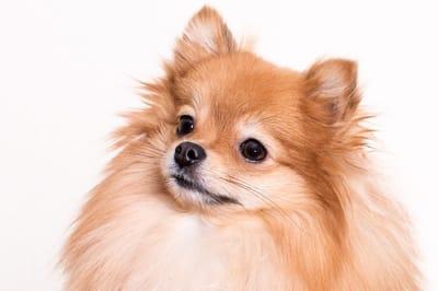 perro pomerania