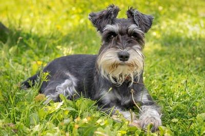 schnauzer perro
