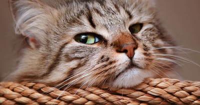 bigotes del gato