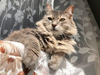 gato atigrado cortinas