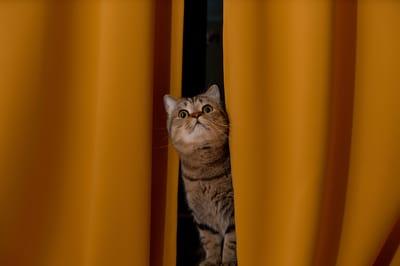 gato en las cortinas