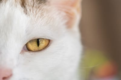 gato blanco ojos amarillos