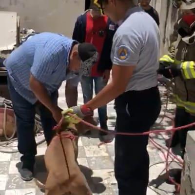 pitbull rescatado